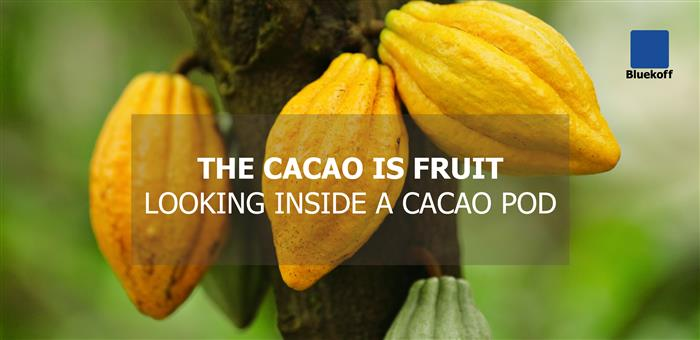 The Cacao is fruit