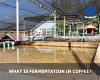 What Is Fermentation in Coffee?